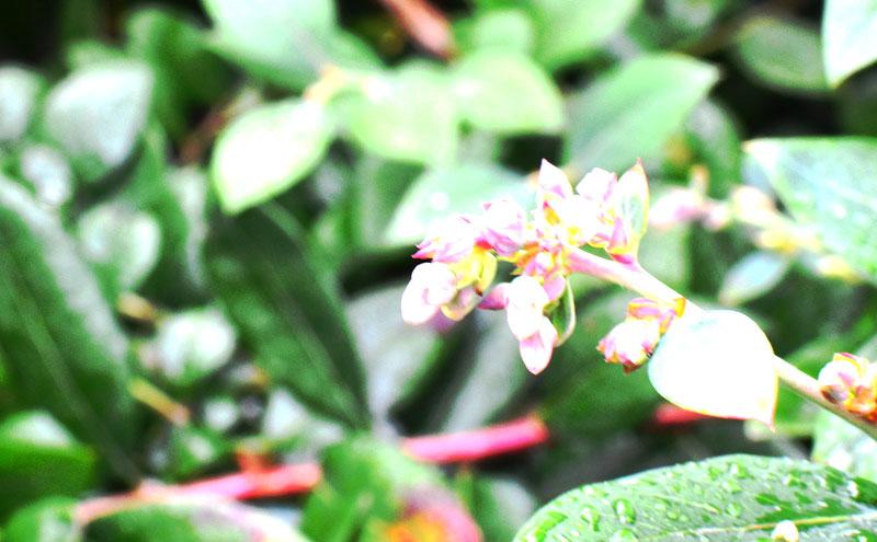 ブルーベリーの花が咲いていました