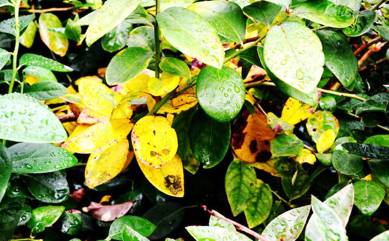 苗木の天敵はコガネムシの幼虫。虫に食べられると葉っぱの色も変わります