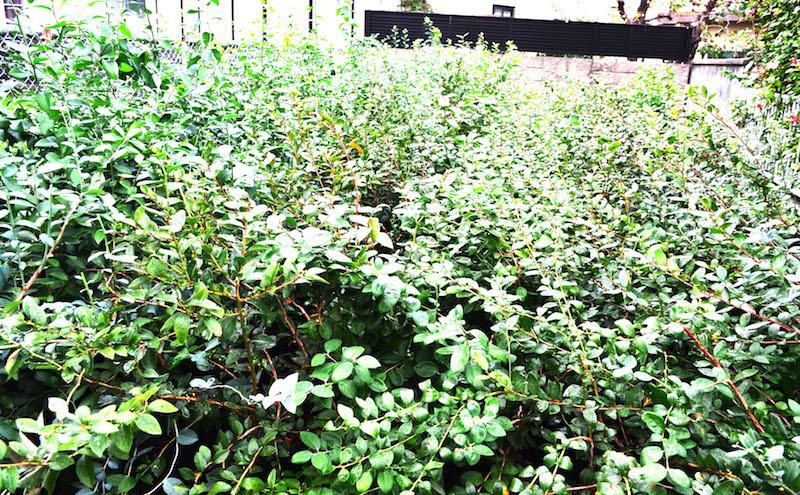 ブルーベリーの苗木